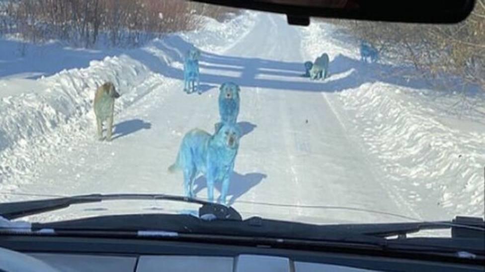 Se hacen virales las imágenes de perros azules en Rusia