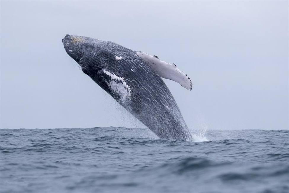 Una imagen de una ballena jorobada similar a la que atacó al hombre