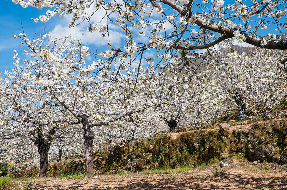 La floración de los cerezos ha comenzado en el Valle del Jerte