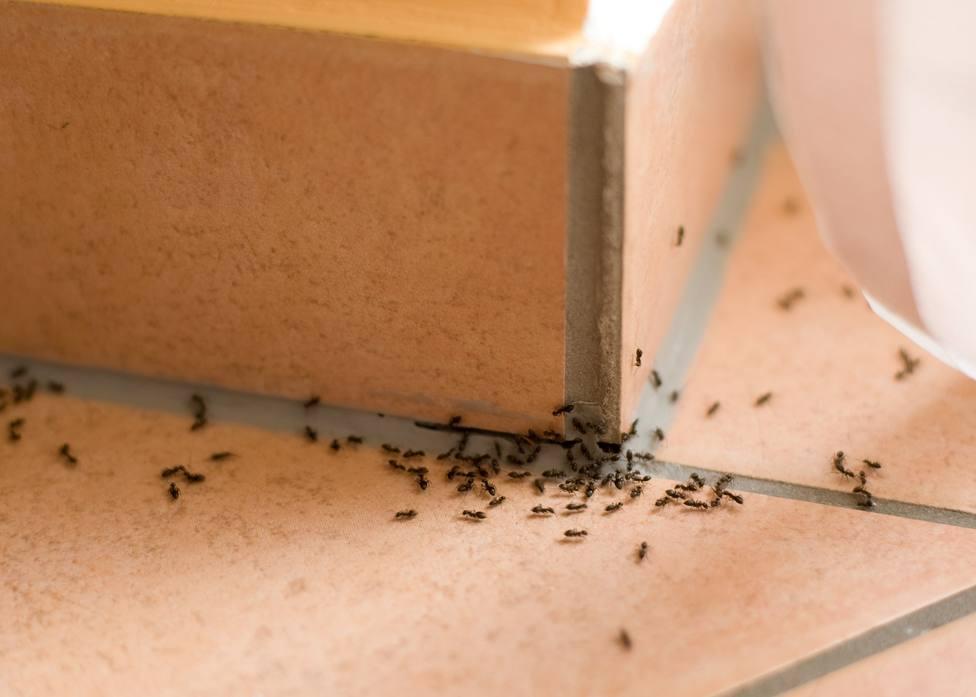 ctv-c1j-hormigas-plagas