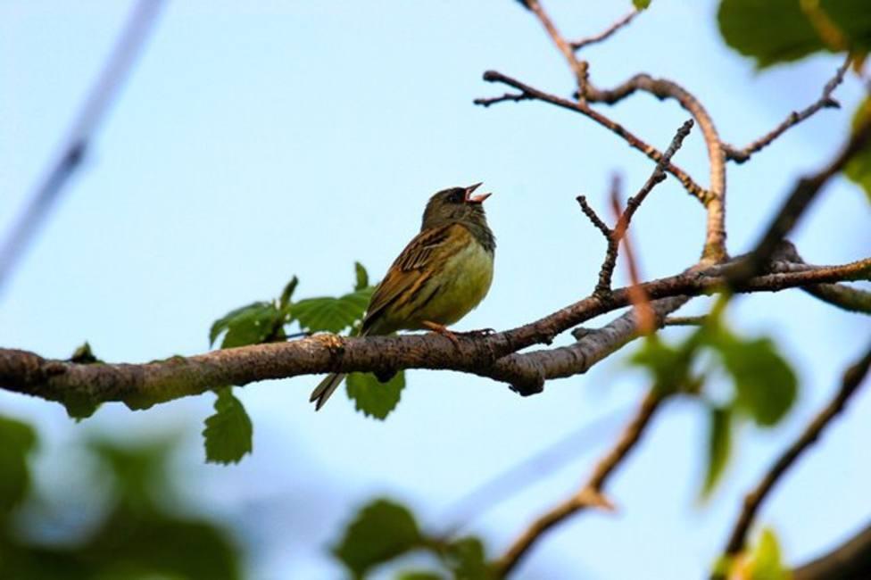 Foto pájaro pía en la rama de un árbol (Europa Press)