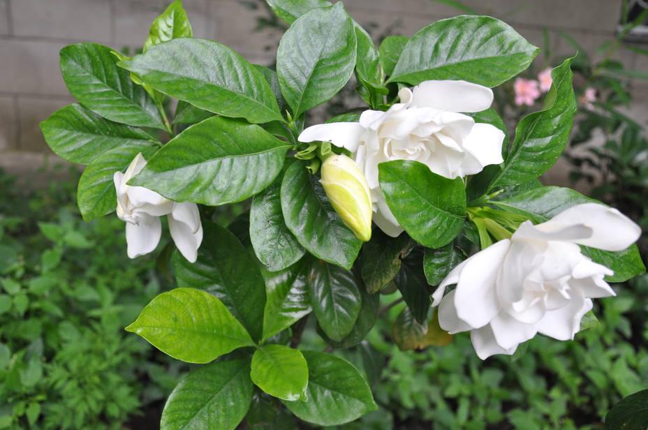ctv-hkf-gardenia jasminoides cape jasmine aaaaaaa