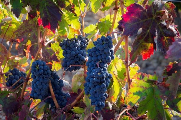 uva de la DOC Rioja