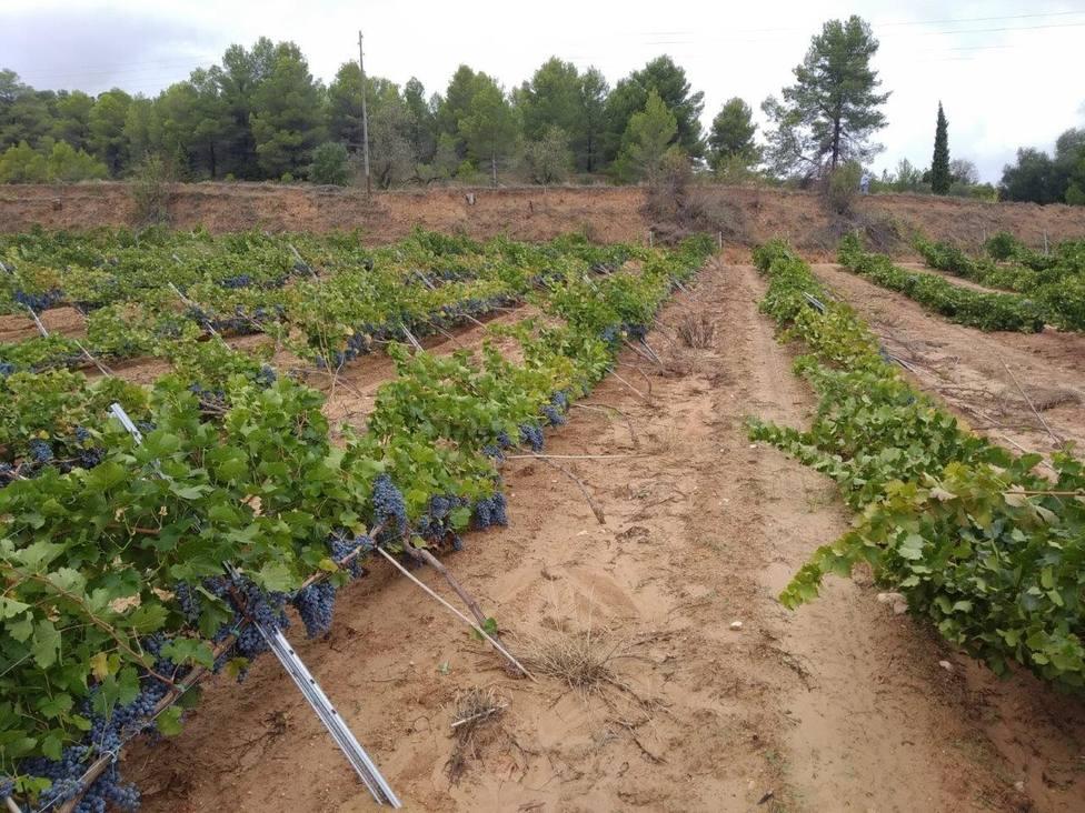 La Gota fría daña más de 2.000 hectáreas de viña y numerosas infraestructuras agrarias en Valencia
