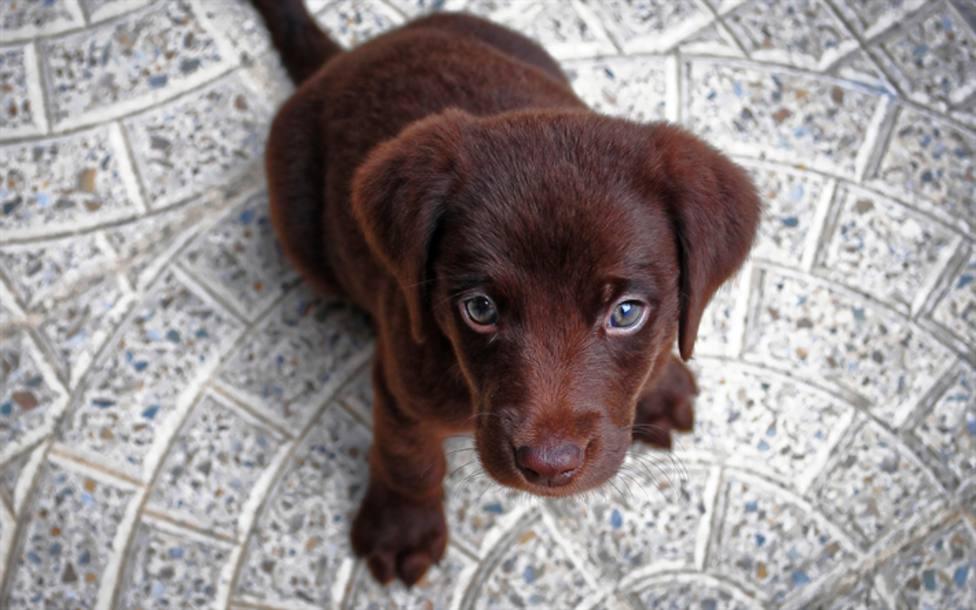 ctv-jg1-thumb2-puppy-4k-chocolate-retriever-small-labrador-canine