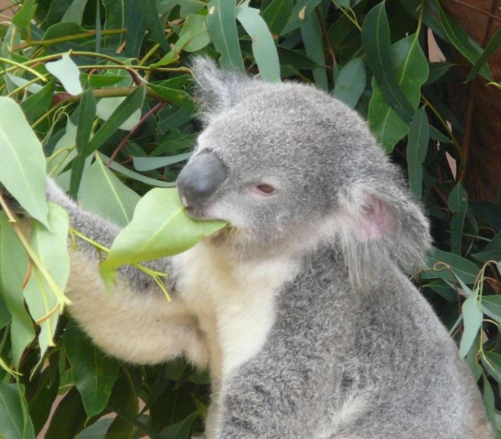 Koala en imagen de archivo