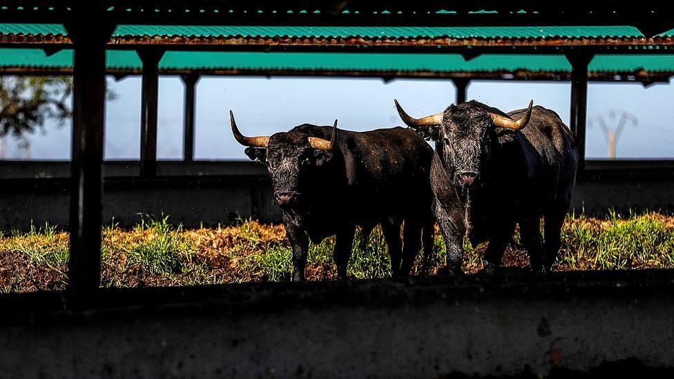 Dos toros de Victorino Martín en su finca cacereña de Las Tiesas