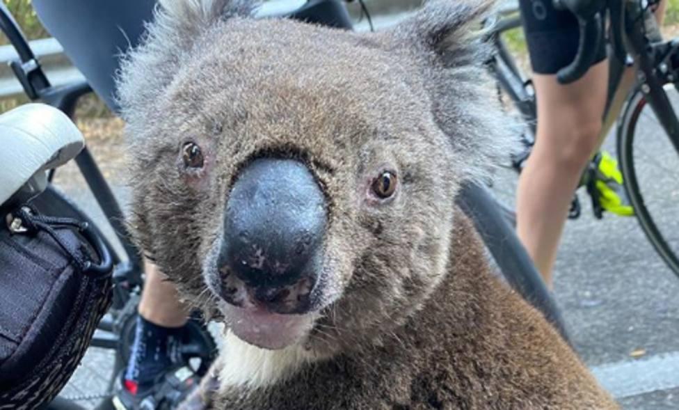 ctv-3je-el-koala