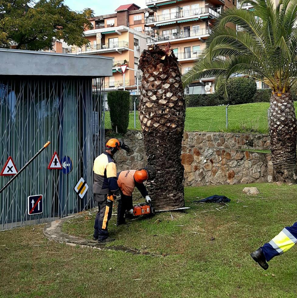 Empleados municipales de Plasencia actuando en las palmeras afectadas por el picudo rojo