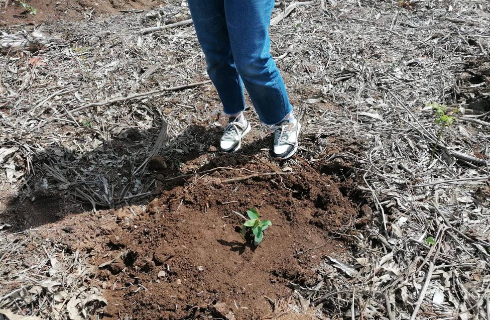 Una planta de eucalipto recién plantada en un monte de la comarca