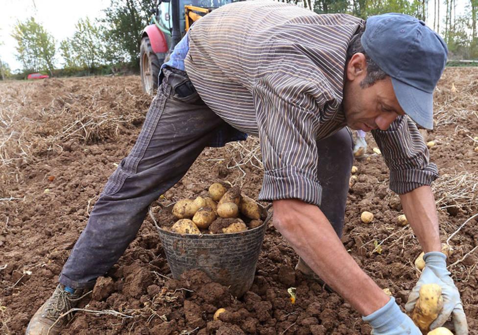 La patata palentina, de la tierra a la sartén