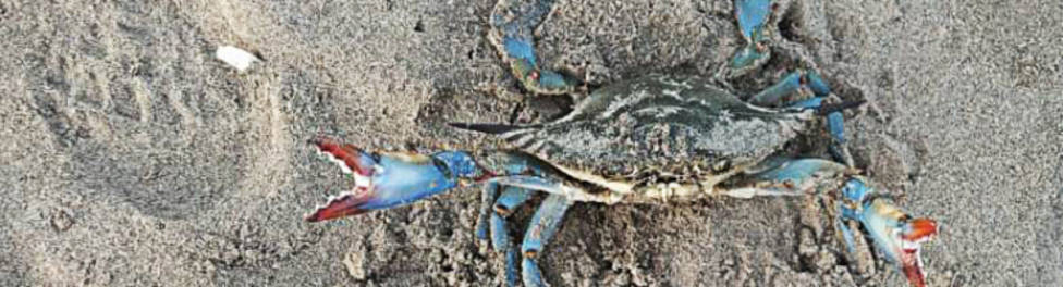 que se incentive la pesca profesional del cangrejo azul