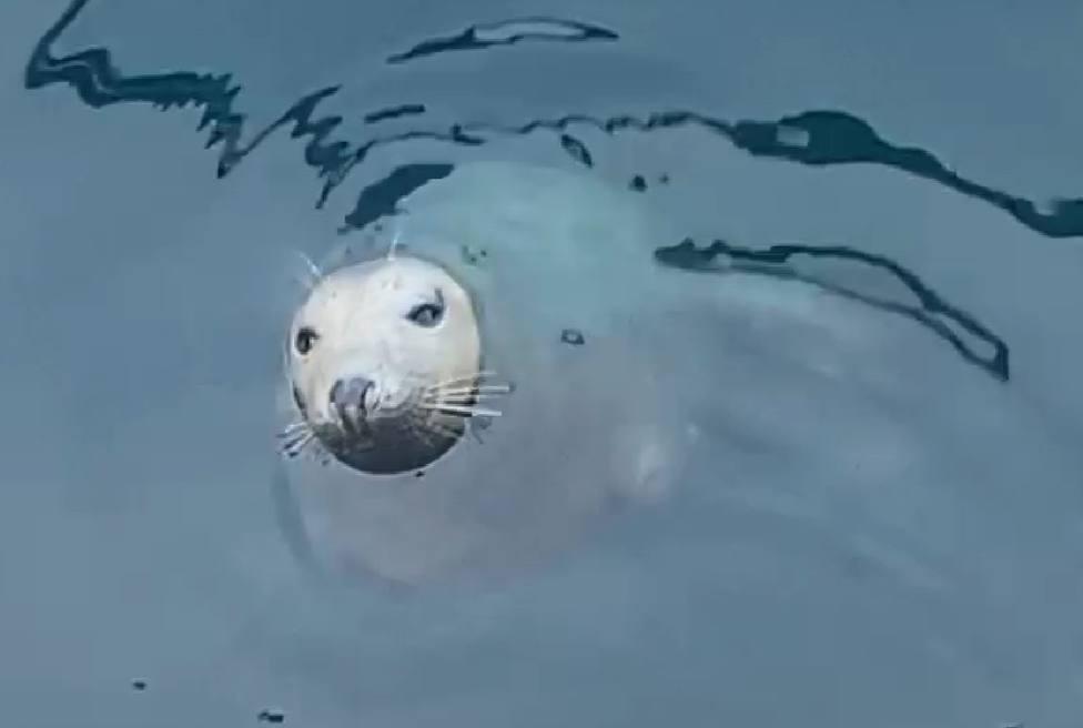 Una de las tres focas grises que habitan la costa asturiana estos días