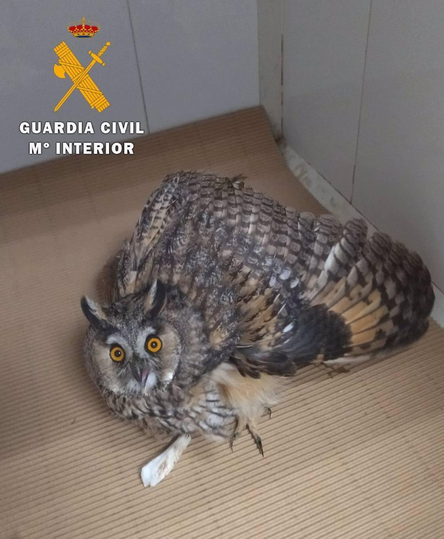 Sucesos.- Recuperan tres jóvenes ejemplares de busardo ratonero, búho chico y águila calzada en la provincia de Albacete