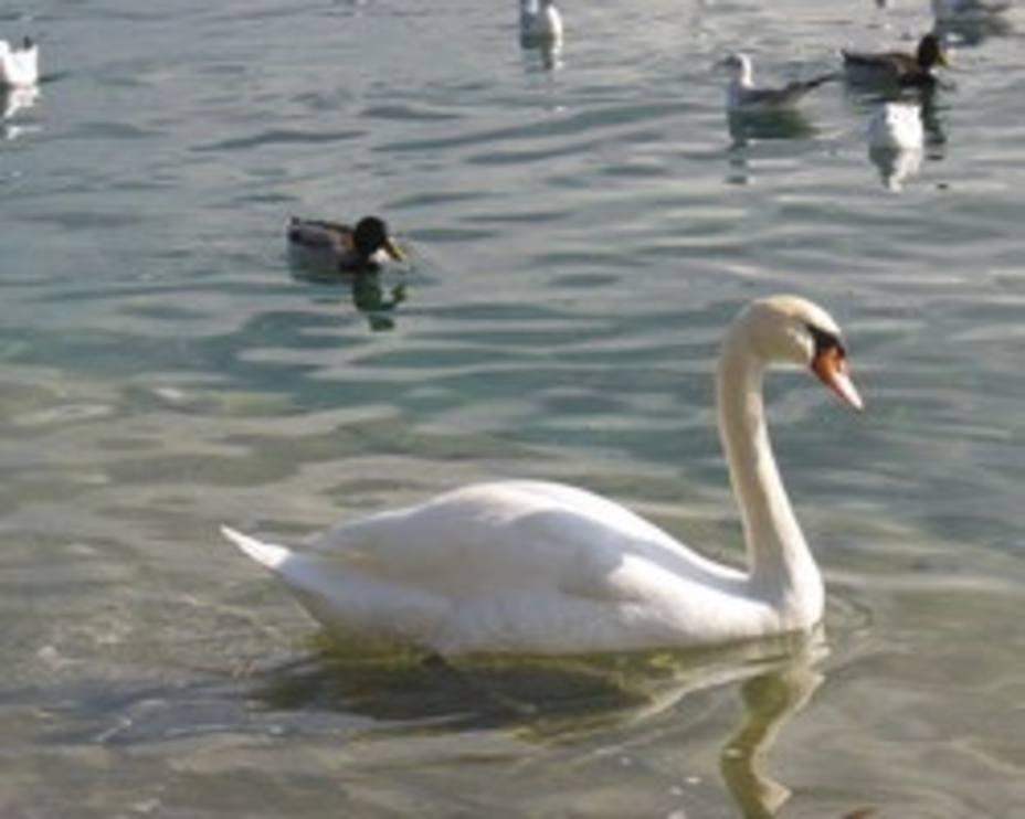 La OMS avisa de que la gripe aviar se puede propagar en países europeos ubicados en rutas migratorias de aves silvestres