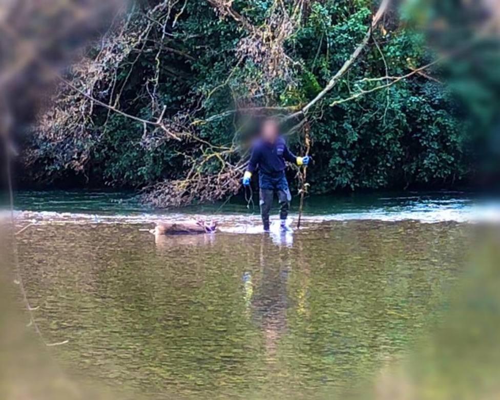 Retiran un ciervo muerto del cauce del río Najerilla