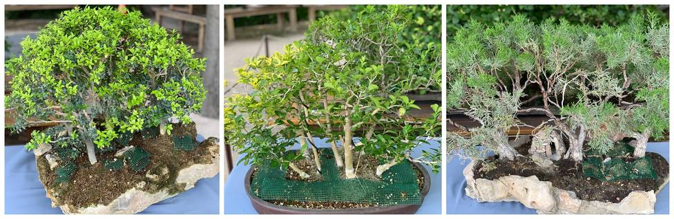 La colección de bonsais del Real Jardín Botánico se amplía con la donación de tres nuevos ejemplares