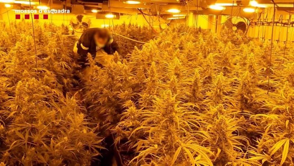 Una de las plantaciones de marihuana decomisada por los Mossos dEsquadra.