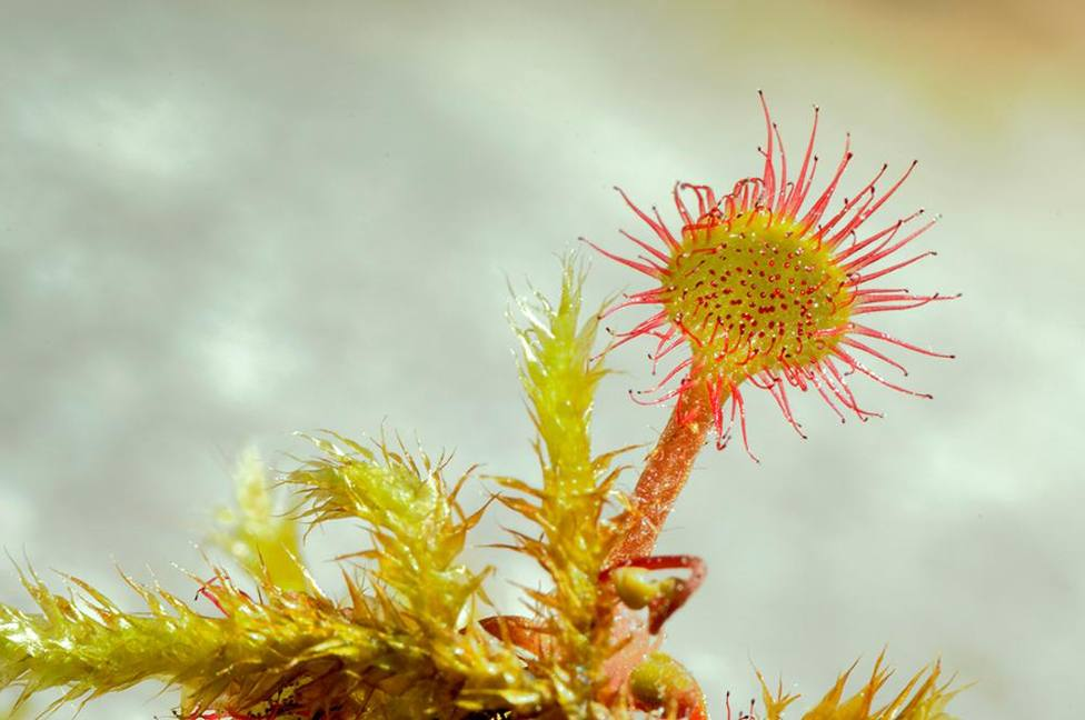 ctv-jfc-flora-del-pirineo-aragons -drosera-rotundifolia