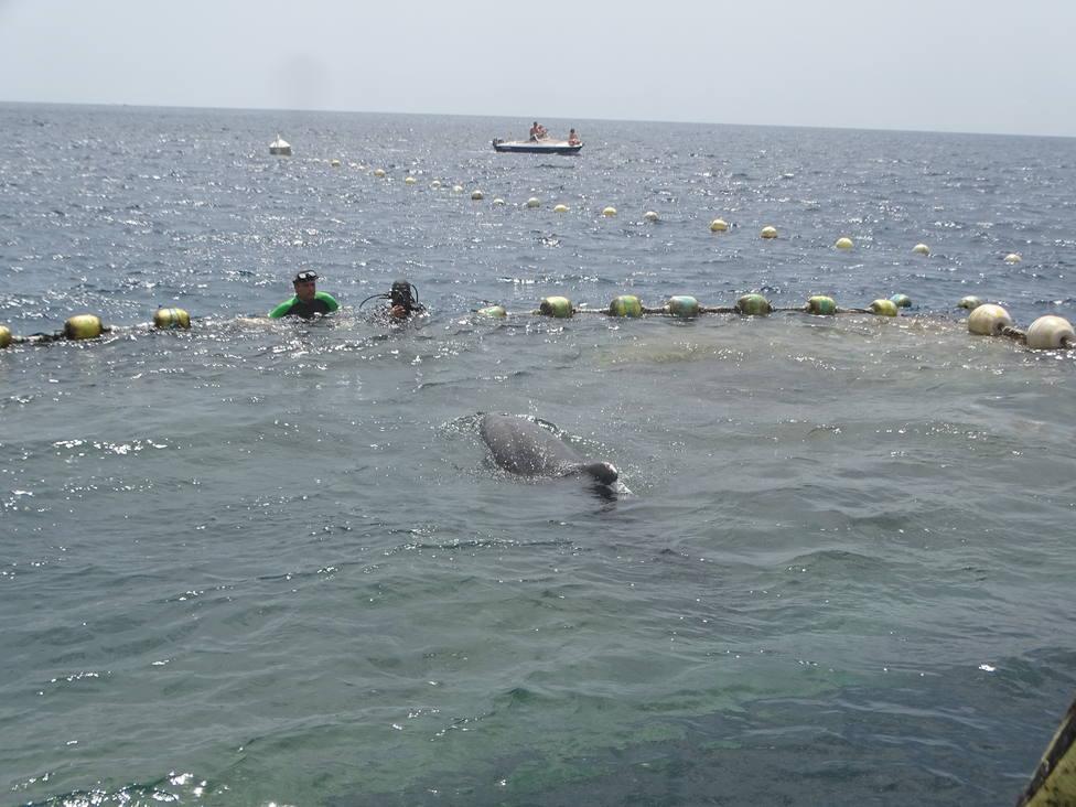Liberados tres delfines mulares de la almadraba de La Azohía