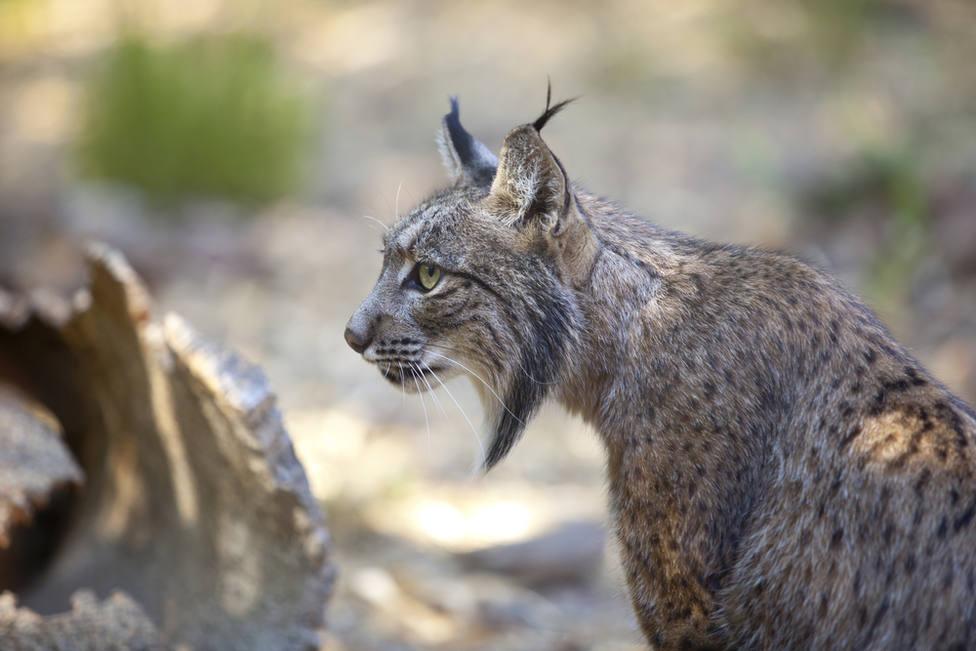 Muere en Doñana el primer lince ibérico atropellado de 2020