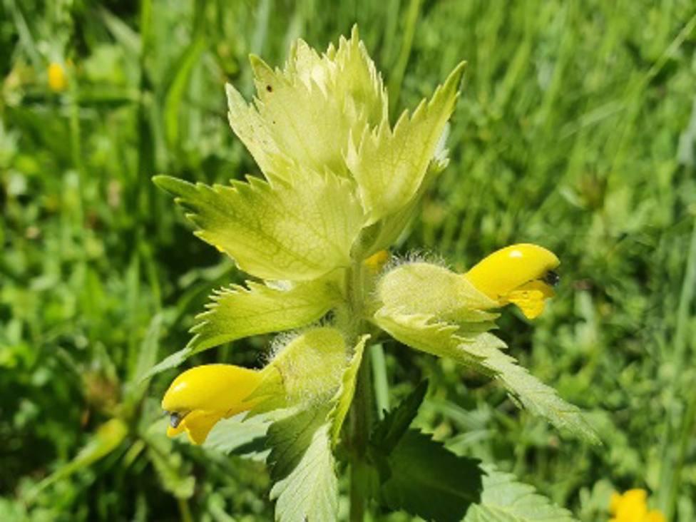 La rhinanthus alectorolophus es conocida como sonajero amarillo.