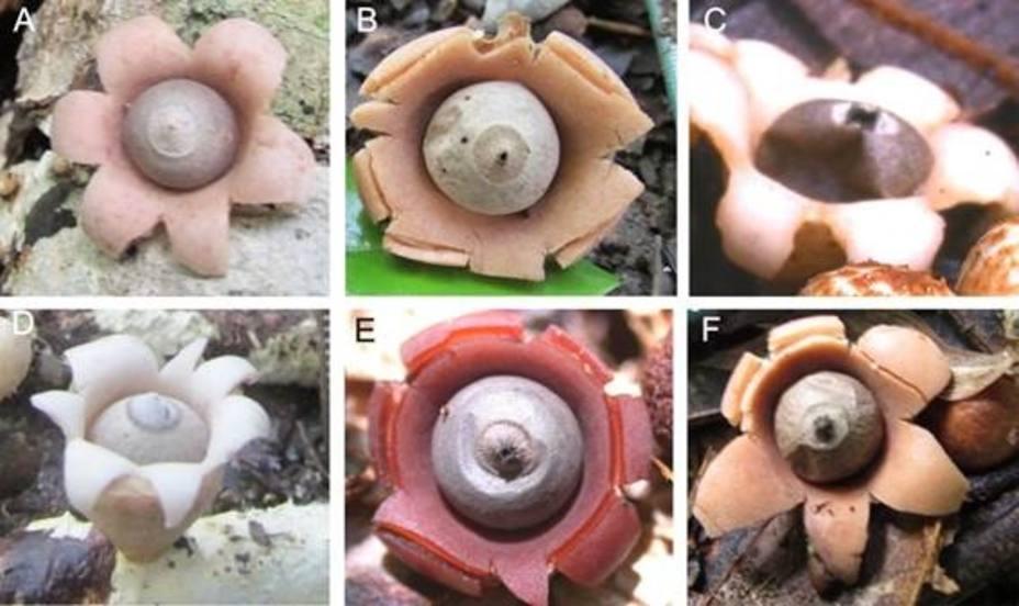 Descubiertas seis nuevas especies del hongo estrella de la tierra