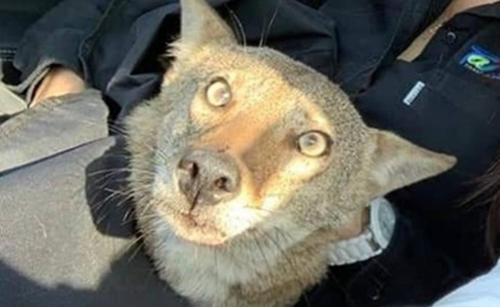 ctv-mfx-coyote