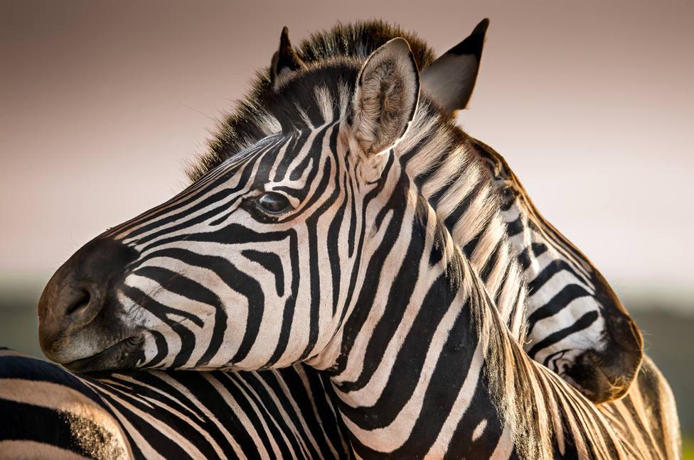 Descifran el significado de las rayas en los animales