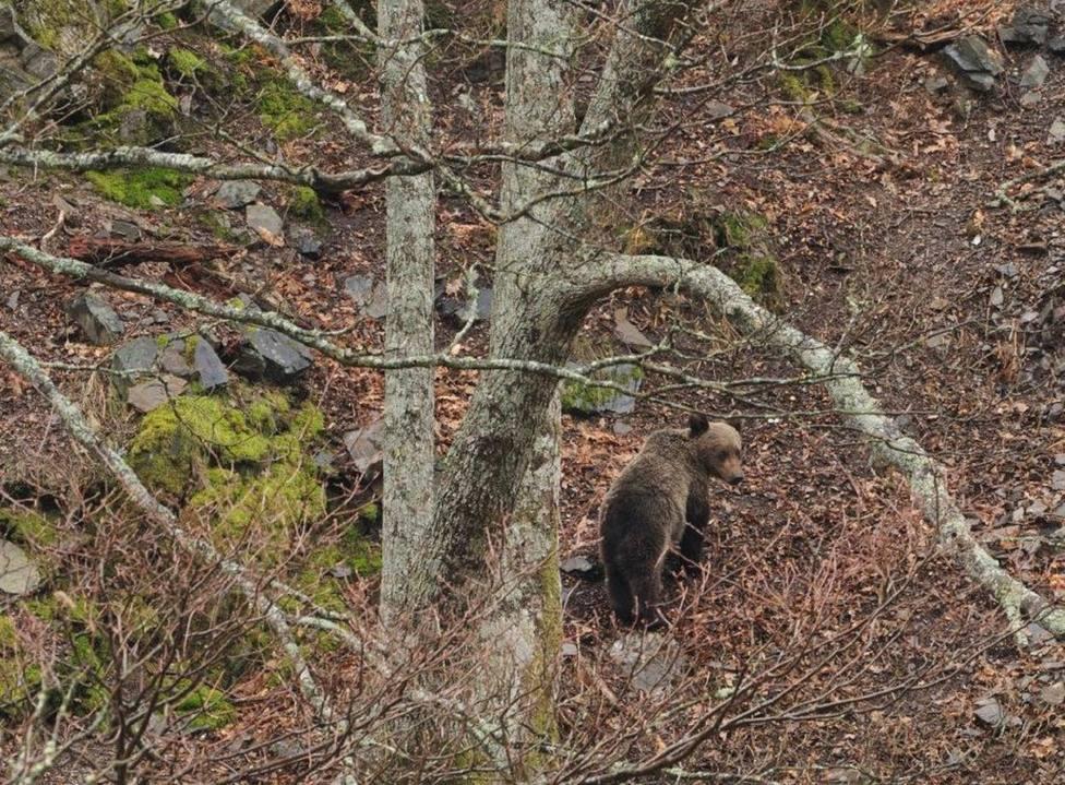 Esta iniciativa busca favorecer la convivencia con el oso pardo