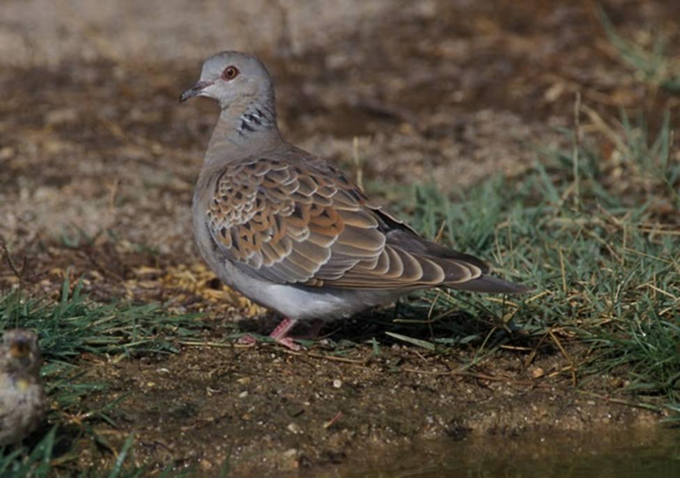 SEO/BirdLife denuncia que España comenzará la caza de tórtolas, a pesar de las advertencias de Europa