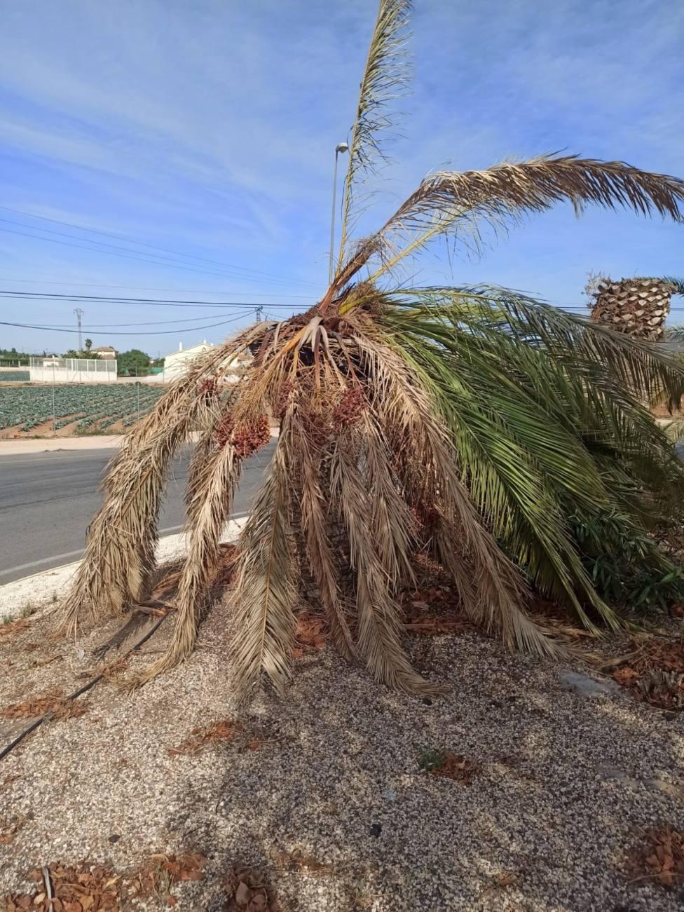 Lorca realiza un tratamiento de choque contra el picudo rojo en las palmeras de la rotonda de Purias
