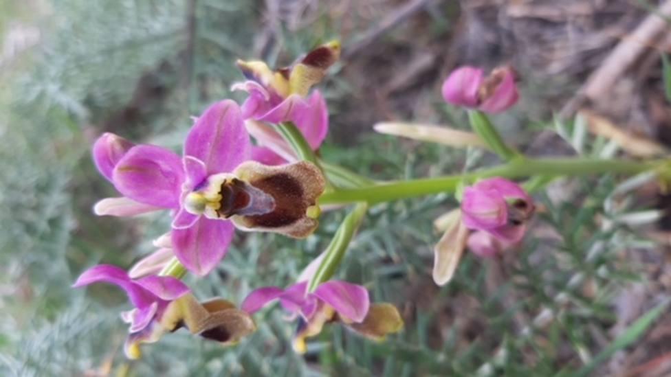 ctv-mve-ophrys-tenthredinifera