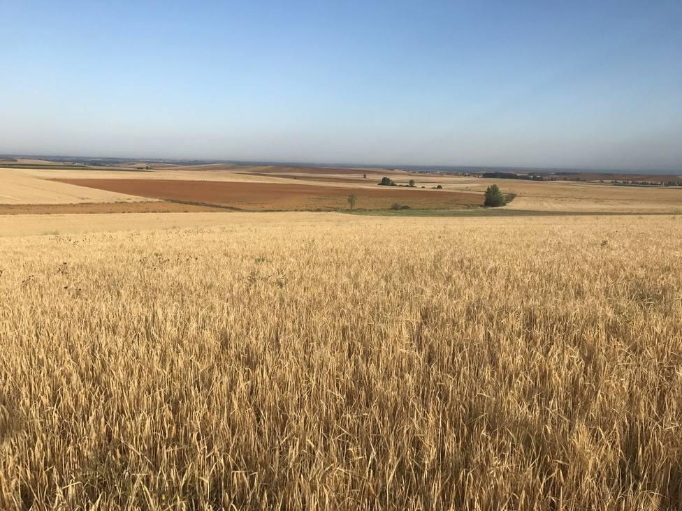 Agroseguro ha abonado el 80% de las indemnizaciones en cereales de invierno y leguminosas, hasta 78 millones