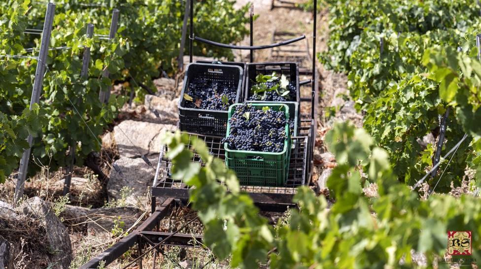 Finaliza la vendimia más productiva de la historia en la Riberia Sacra