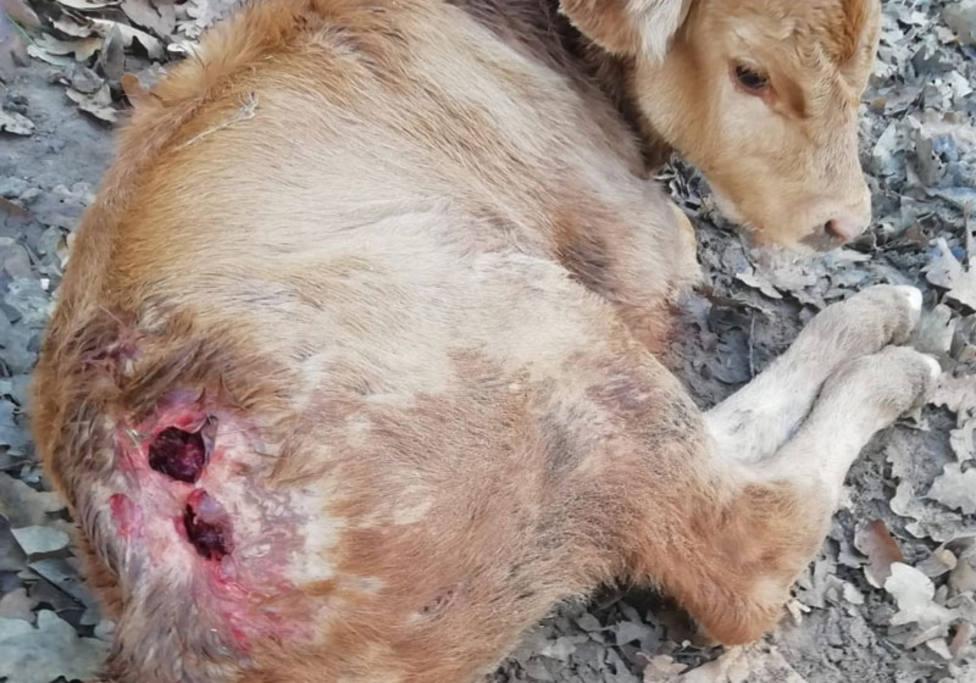 Asaja denuncia la muerte de un ternero a consecuencia del ataque de buitres en Cuillas del Valle