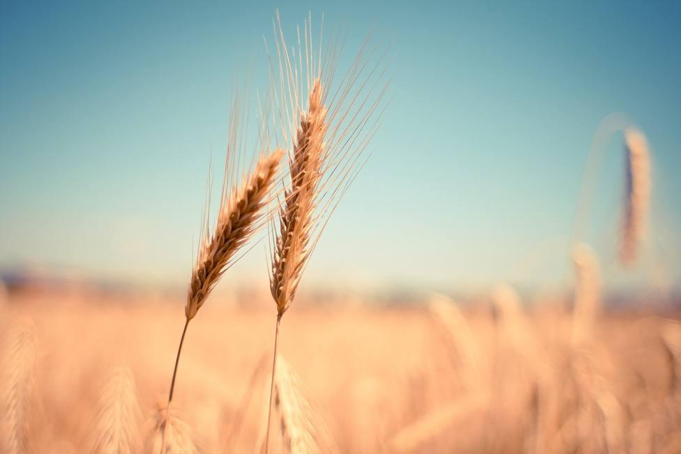 La producción de cereal en la provincia de Córdoba será baja esta campaña pero de buena calidad