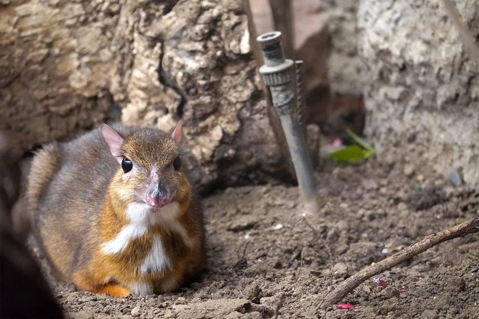 Nace en Fuengirola un ciervo ratón, una curiosa especie con cuatro estómagos