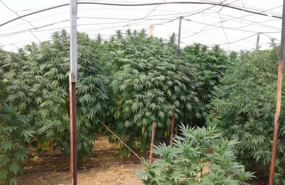 Plantación de marihuana descubierta en Almazán