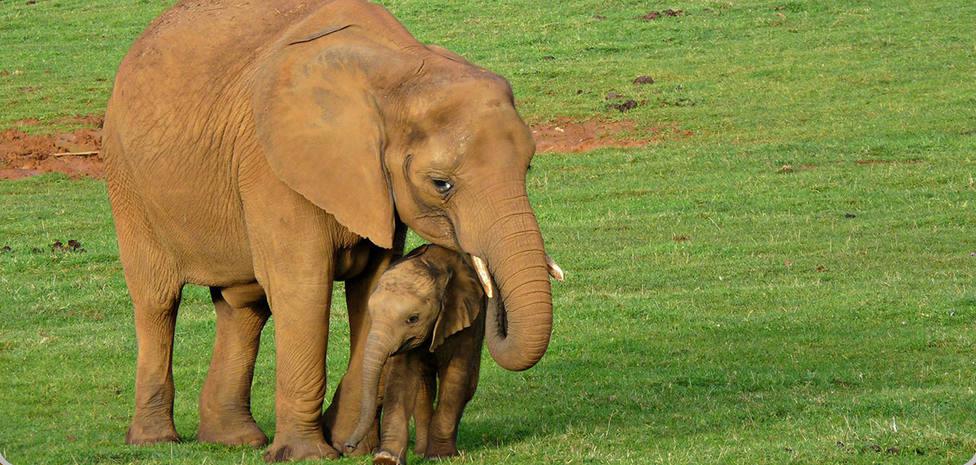 Una nueva cría de elefante para Cabárceno