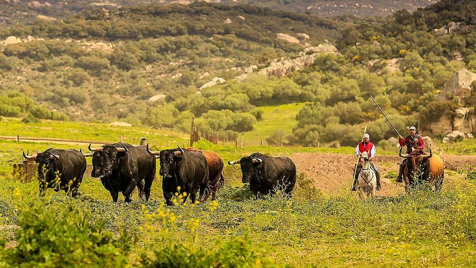 La crianza del toro bravo será impulsada desde la Junta de Andalucía