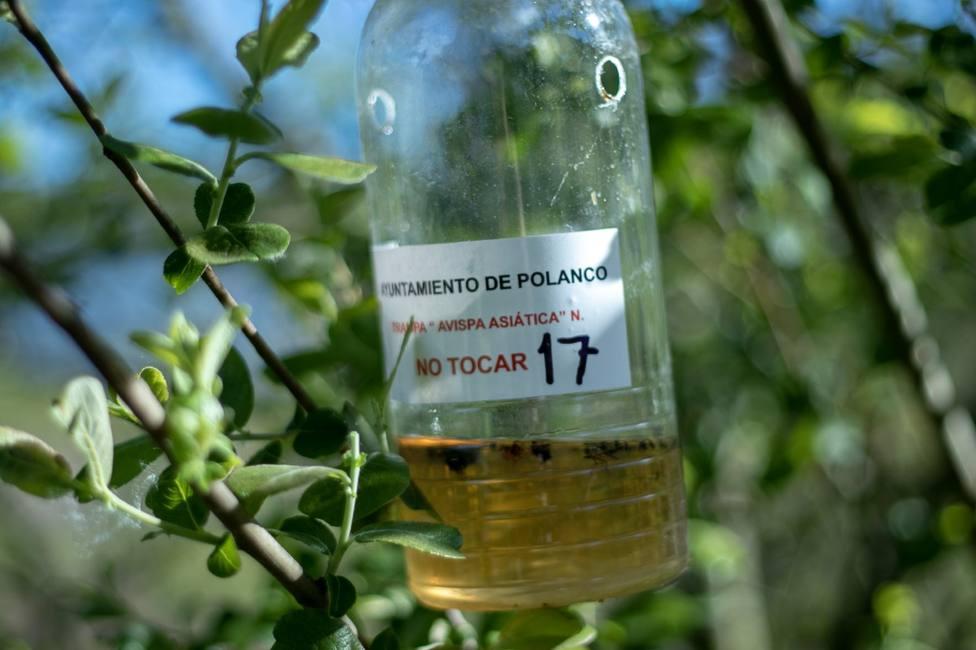 Capturadas 1.655 reinas de avispa asiática en el municipio de Polanco