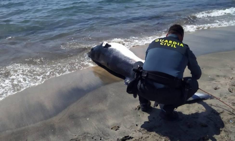 Hallan un espectacular rorcual aliblanco de 300 kilos en la playa de Aguamarga