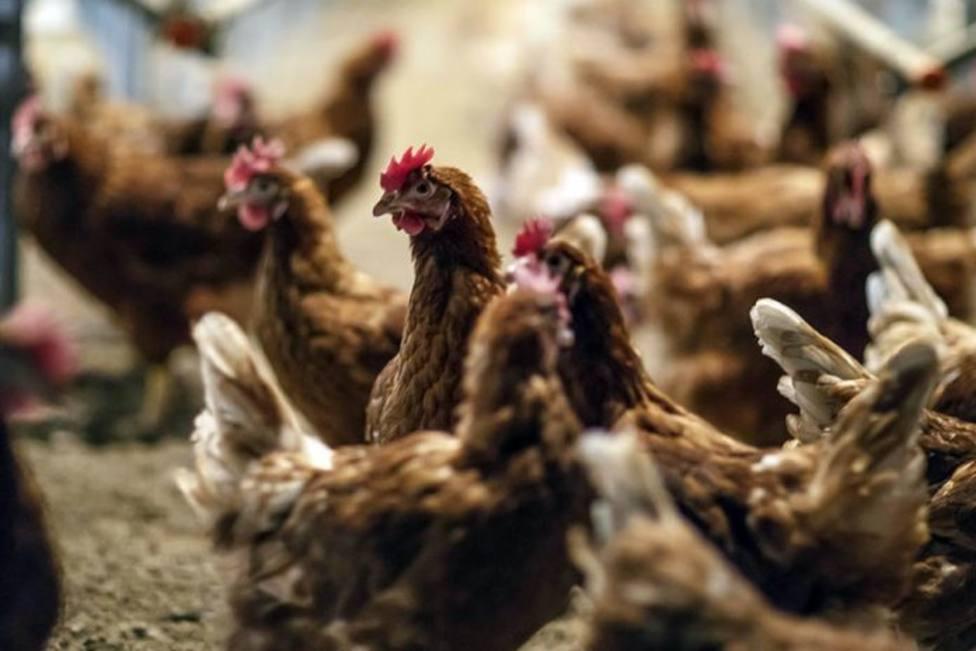 Clausuran un corral en Asturias por el ruido que hacen los gallos