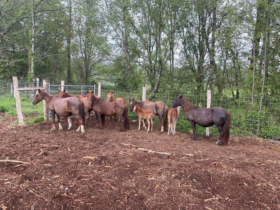 El grupo de equinos andaba suelto por la parroquia de Naraío. FOTO: César Galdo