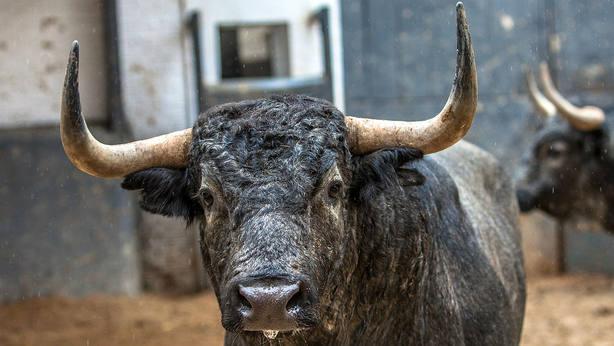 Uno de los toros de Partido de Resina que se lidió en el pasado San Isidro