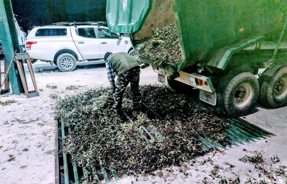Olivarero moltiurando la cosecha