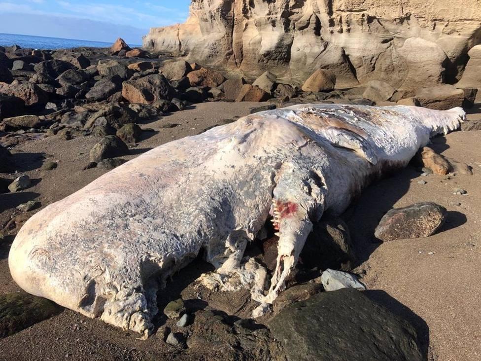Sucesos.- Retiran un cachalote muerto de más de 10 toneladas que varó en una playa de Mogán (Gran Canaria)