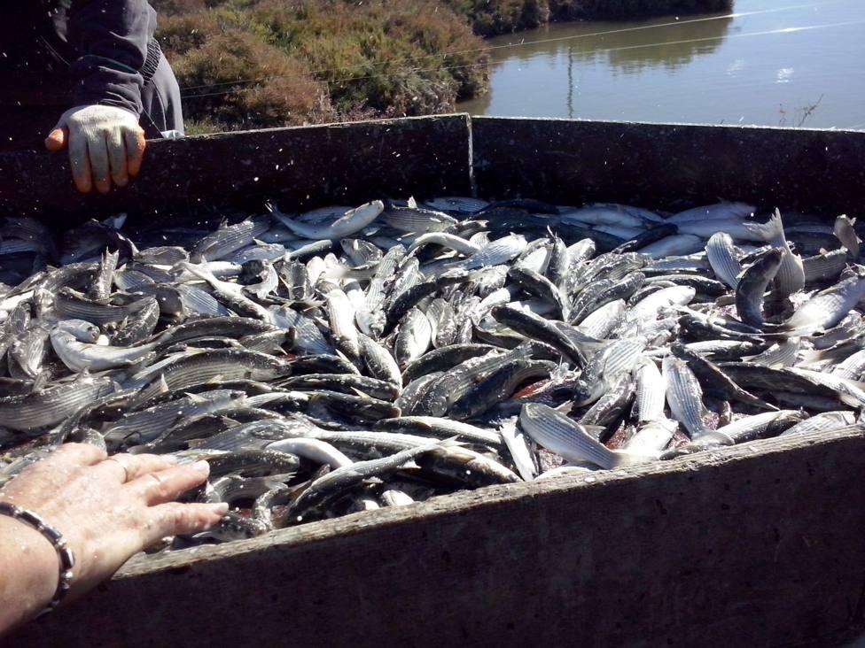 El gastroturimo gaditano se agarra al pescado de estero y el atún rojo de almadraba