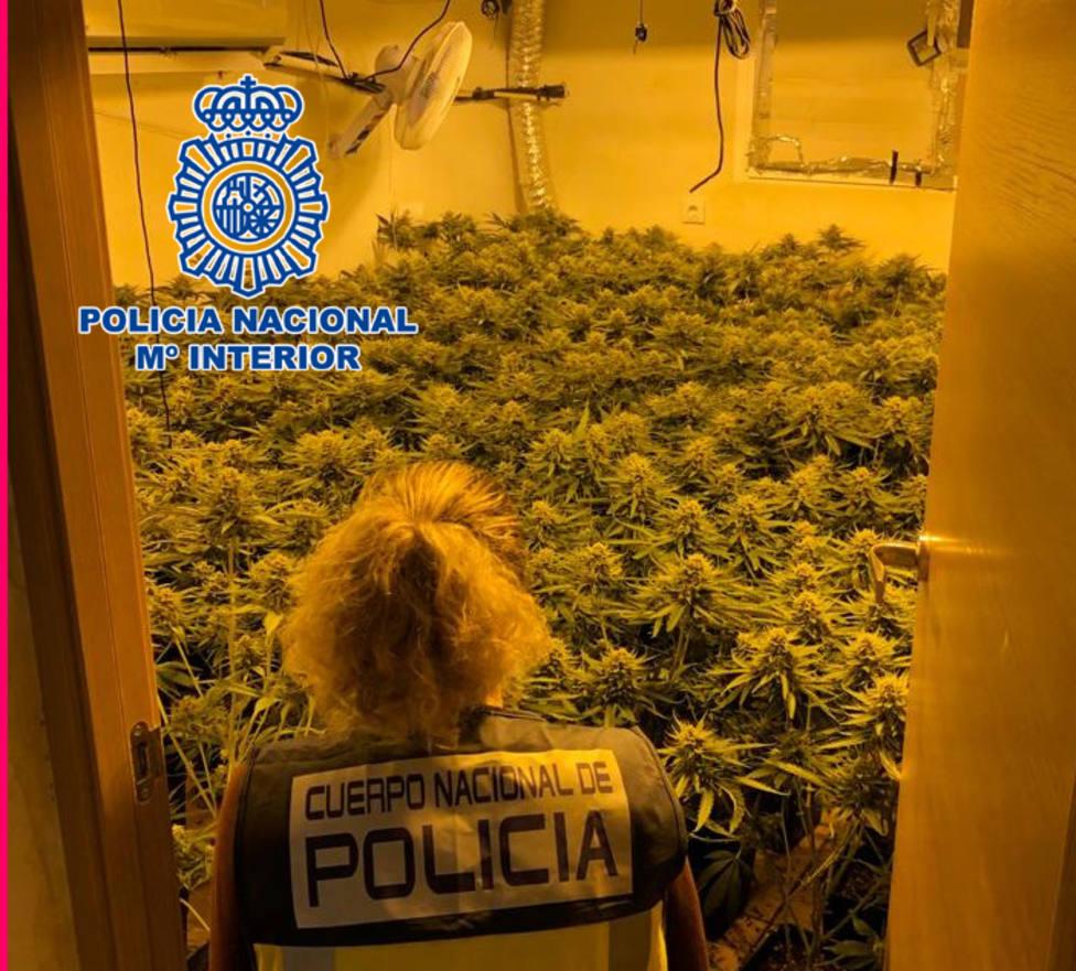 Doble golpe policial contra el cultivo de marihuana en Almería: 630 plantas intervenidas y tres detenidos